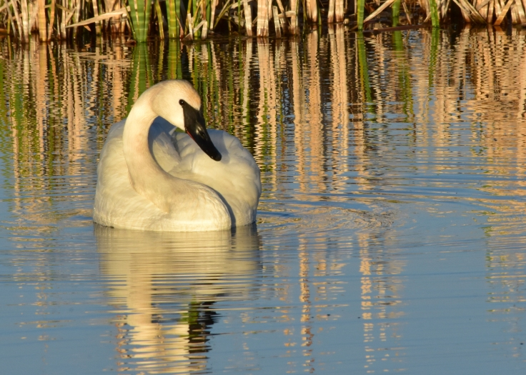 Trumpeter swan on Seedskadee National Wildlife Refuge