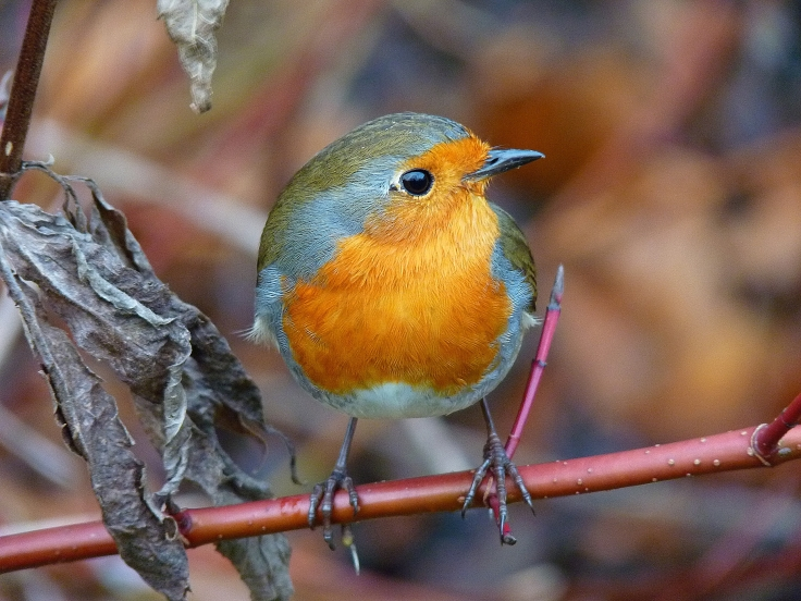 European Robin 8291616@N08 Flickr 6406283467_c6bfe20050_o