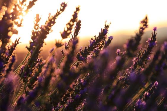 Profumo di Lavanda all'alba strolicfurlan Flickr 36002166773_1ee594af33_o